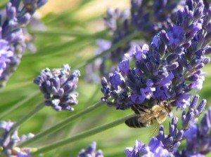 L' abeille besogneuse sans qui la vie serait impossible